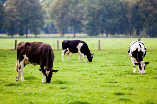 关于cows与bulls的跨学科观点:cow(母牛)