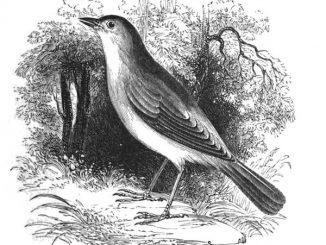 英语短篇小说 | The Nightingale and the Rose 夜莺与玫瑰 奥斯卡·王尔德