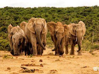 翻译研究 | aherdof elephants是英语中的量词吗?