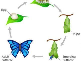 图说英语词汇 | 蝴蝶的生命周期 Life Cycle of Butterfly