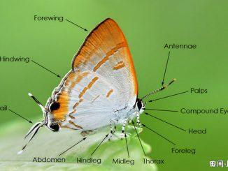 图索英语词汇   蝴蝶身体器官部位英语词汇中英对照