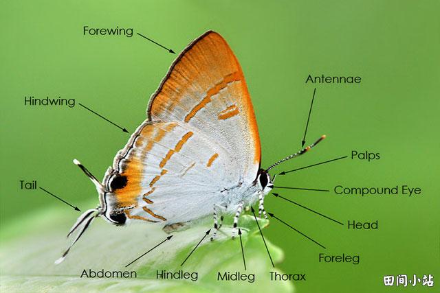 图索英语词汇 | 蝴蝶身体器官部位英语词汇中英对照